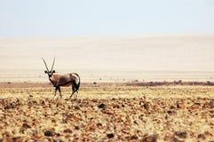 Oryx gazella. In Namibia Desert Stock Photos