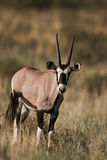 Oryx gazella Stock Photos