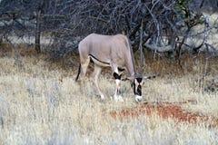 Oryx gazella Stock Images