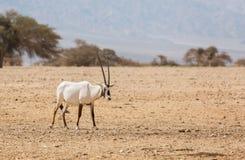 Oryx Gazella in the desert Royalty Free Stock Photos