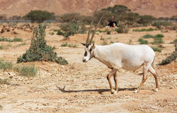 Oryx Gazella in the desert Royalty Free Stock Images
