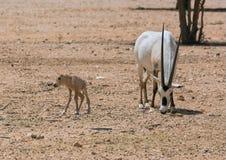 Oryx Gazella in the desert Stock Image