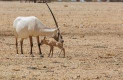 Oryx Gazella in the desert Stock Images