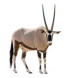 Oryx Gazella & x28 Gemsbok& x29  εξετάζοντας το έκκεντρο που απομονώνεται Στοκ Φωτογραφία