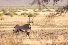 Oryx Gazella & x28 Gemsbok& x29  στο λιβάδι Στοκ Εικόνα
