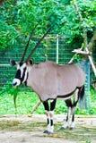 Oryx gazella or Gemsbok stock image