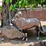 Oryx gazella. Gemsbok Africans desert life in farm Stock Photography