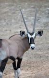 Oryx gazella. Gemsbok Africans desert life in farm Stock Photo