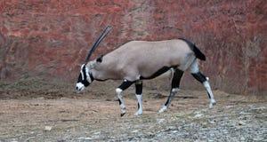 Oryx gazella. Gemsbok Africans desert life in farm Royalty Free Stock Photo