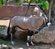 Oryx gazella. Gemsbok Africans desert life in farm Royalty Free Stock Image