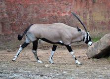 Oryx gazella. Gemsbok Africans desert life in farm Royalty Free Stock Images