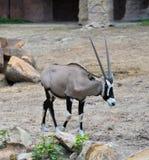 Oryx gazella. Gemsbok Africans desert life in farm Stock Images