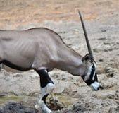 Oryx gazella. Gemsbok Africans desert life in farm Stock Image