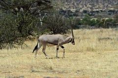 Oryx gazella stock image
