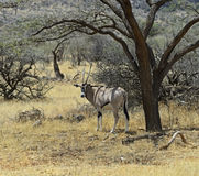 Oryx gazella Stock Photography