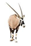 Oryx Gazella of Gemsbok-het lopen Royalty-vrije Stock Foto
