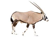 Oryx Gazella of Gemsbok-het lopen Stock Fotografie