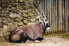 Oryx gazella. Gemsbok is a large antelope Stock Photos