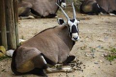 Oryx gazella. Gemsbok is a large antelope Royalty Free Stock Images