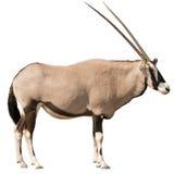 Oryx Gazella & x28; Gemsbok& x29; recht het kijken Royalty-vrije Stock Foto