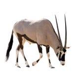 Oryx Gazella (Gemsbok) searching food isolated. On white background Royalty Free Stock Photography