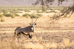 Oryx Gazella & x28; Gemsbok& x29; in weide Stock Afbeelding