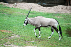 Oryx gazella Royalty Free Stock Images