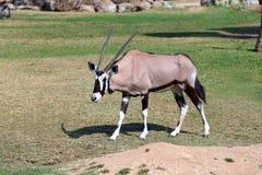 Oryx Stock Image
