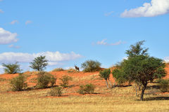 Oryx gazella in the Kalahari desert Royalty Free Stock Image