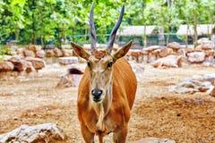 Oryx Gazella. National Forest. Royalty Free Stock Image