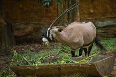 Oryx gazella. In chiangmai zoo Royalty Free Stock Photo