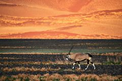 Beautiful Oryx Oryx gazella walking in the namibian desert stock photography