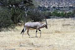 Oryx gazella in the savannah Stock Images