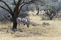 Oryx gazella in the savannah stock image