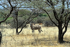 Oryx gazella in the savannah Stock Photos