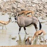 Oryx Gazella u. x28; Gemsbok& x29; am articicial waterhole lizenzfreies stockbild