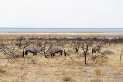 Oryx gazella w etosha Fotografia Stock