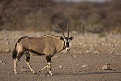 Oryx gazella walking in rocky field Stock Images