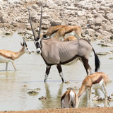 Oryx Gazella & x28; Gemsbok& x29; przy articicial waterhole Obraz Royalty Free
