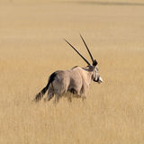 Oryx Gazella & x28; Gemsbok& x29; in weide Royalty-vrije Stock Afbeelding