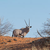 Oryx Gazella & x28; Gemsbok& x29; in weide Stock Foto