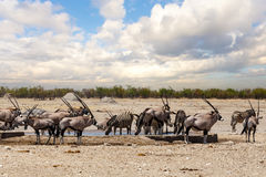 Oryx gazella and zebra in etosha Royalty Free Stock Photos