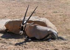 Oryx gazella in zoo. Oryx gazella -  Gemsbok Africans desert life in zoo Royalty Free Stock Photo