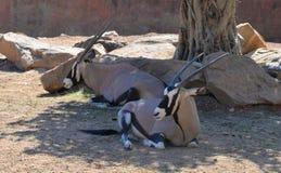 Oryx gazella in zoo. Oryx gazella -  Gemsbok Africans desert life in zoo Royalty Free Stock Image
