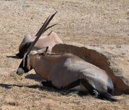 Oryx gazella in zoo. Oryx gazella -  Gemsbok Africans desert life in zoo Royalty Free Stock Photography