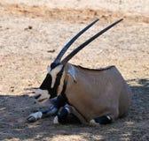 Oryx gazella in zoo. Oryx gazella -  Gemsbok Africans desert life in zoo Stock Photos