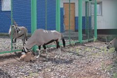 Oryx Gazella at the zoo Stock Photos