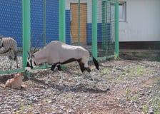 Oryx Gazella Royalty Free Stock Photo