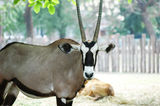 Oryx gazelle Royalty Free Stock Photo