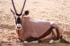 Oryx-Gazelle, die auf dem Boden liegt Lizenzfreie Stockbilder